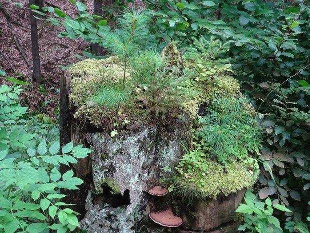 Ein alter Baumstumpf im Wald, bewachsen mit Moos, Pilzen und Farnen