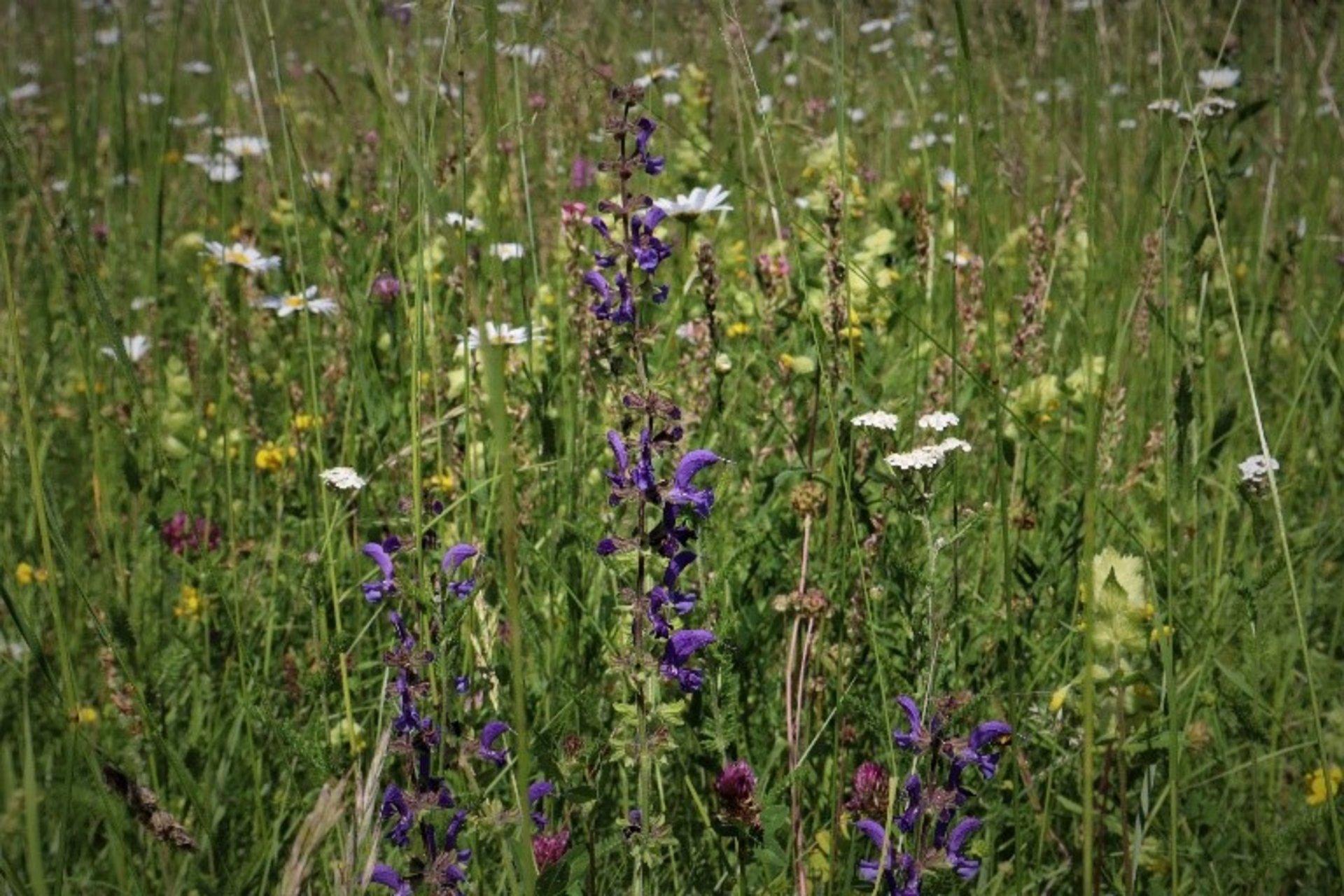 Blühende Wiese im Orchideengebiet (Foto Luisa Seegmüller)