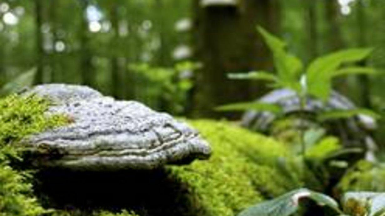Bild: Zunderschwamm Nationalpark Hainich