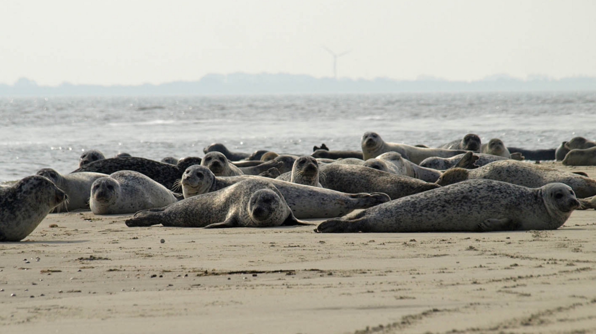 Seehunde Norderney