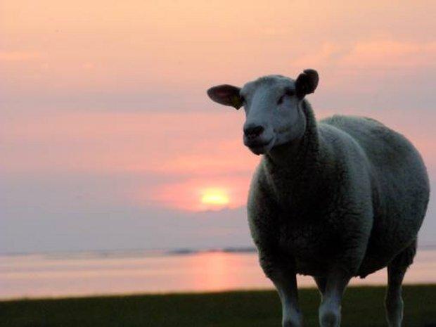 Schaf im Sonnenuntergang