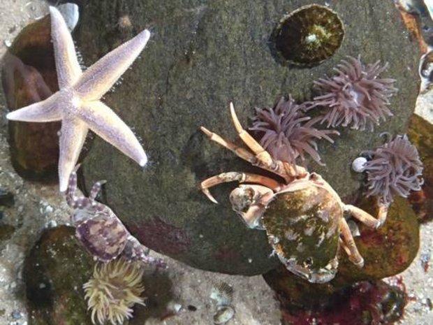 Seestern und Krebs auf einem Stein mit Korallen