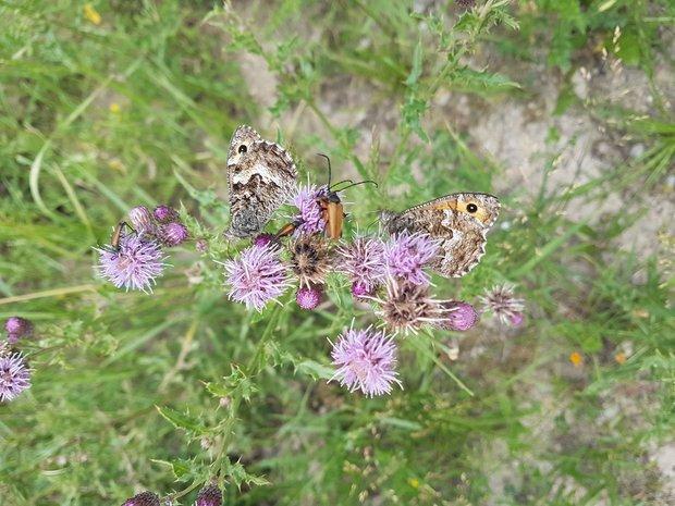 Schmetterlinge auf Disteln