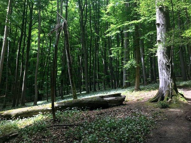 Blick in einen Buchenwald im Nationalpark Hainich